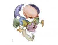 Qu'est-ce que le crâne ?  A quoi sert-il ? De quoi est-il composé ?